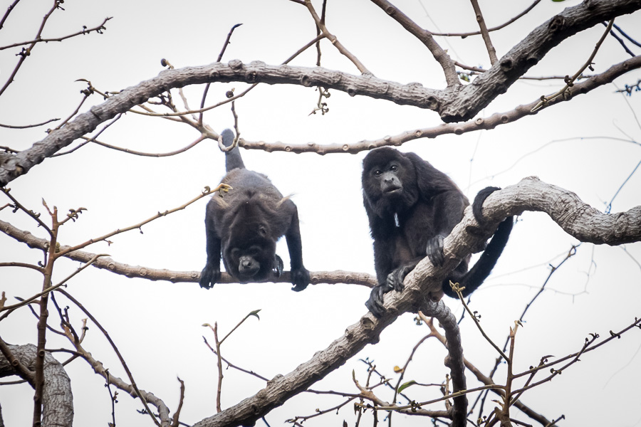 Howler Monkeys in El Chocoyero - El Brujo nature reserve