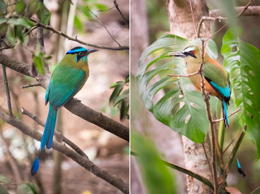guardabarranco (turquoise browed motmot) vs blue-crowned motmot