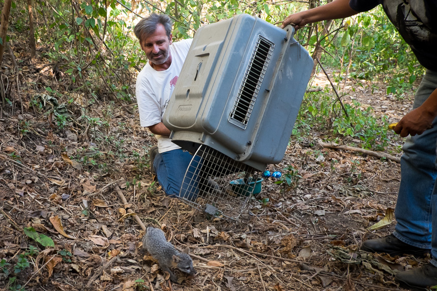 releasing rescued grey foxes in Cañada Honda