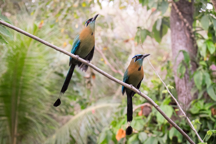 blue-crowned motmots
