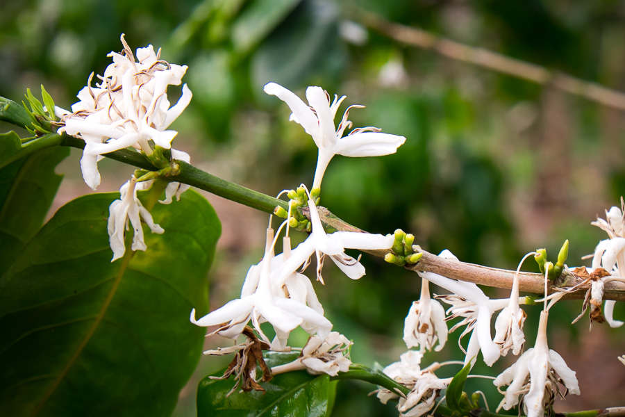 coffee processing flowers
