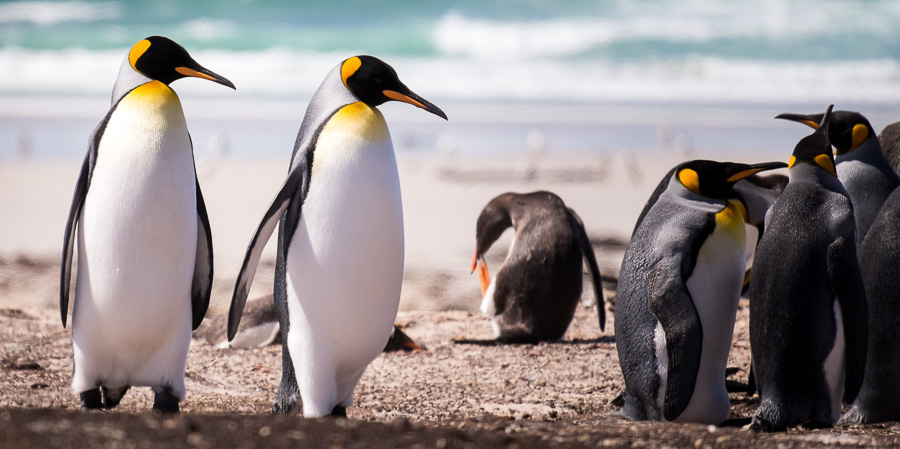 King Penguins - Saunders Island - Falkland Islands