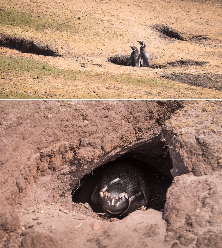 Magellanic Penguins - Saunders Island - Falkland Islands