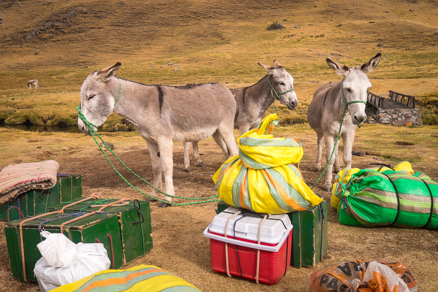 Our donkeys and packing