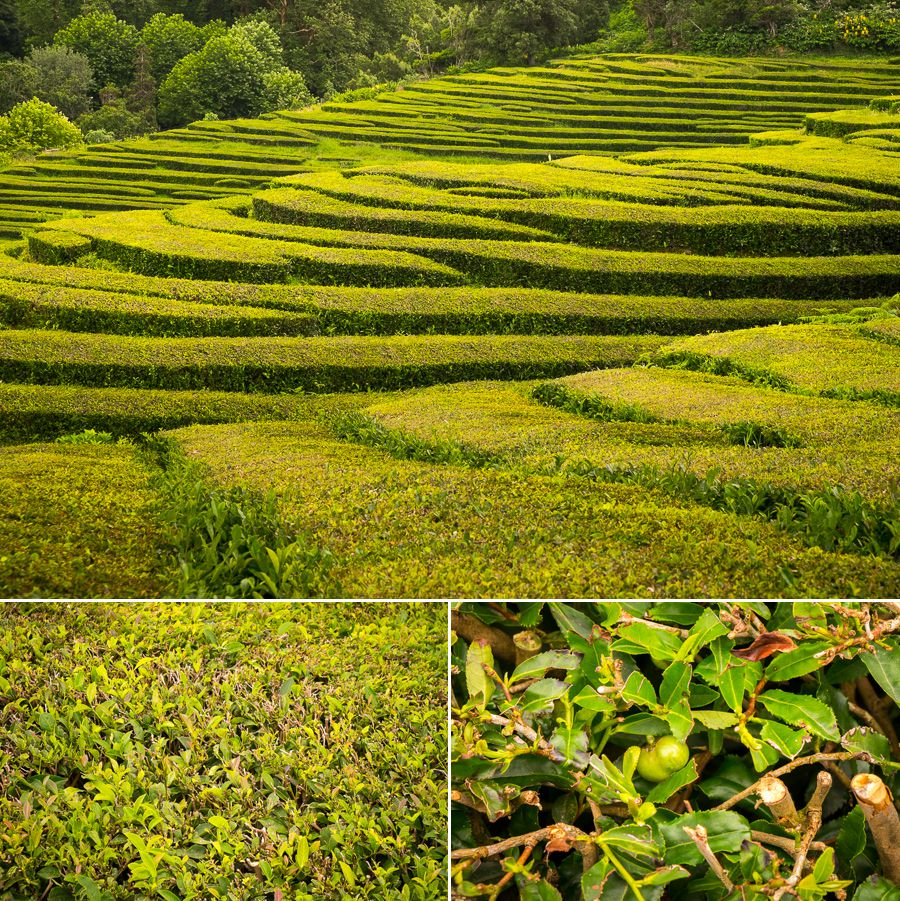 Tea plantation at Chá Gorreana - São Miguel - Azores - Portugal