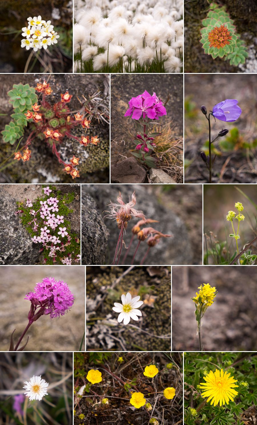 Montage of colourful Greenlandic wildflowers taken along the Ridge Hike near Narsarsuaq, South Greenland