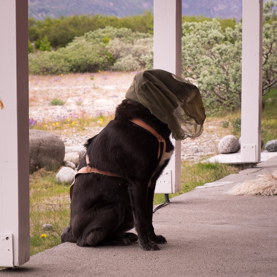 A dog wearing a head net to protect from insects, waiting outside the hostel in Narsarsuaq, South Greenland