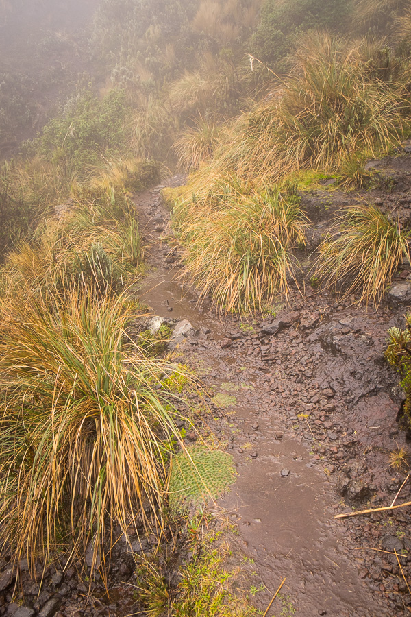 The very muddy and waterlogged trail we were hiking along while descending from the summit Volcán Pasochoa near Quito, Ecuador