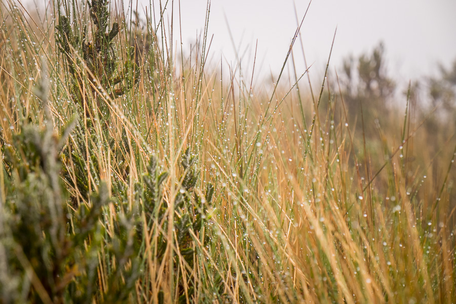 Wet Páramo grass with beads of moisture along the hiking trail to Volcán Pasochoa near Quito, Ecuador