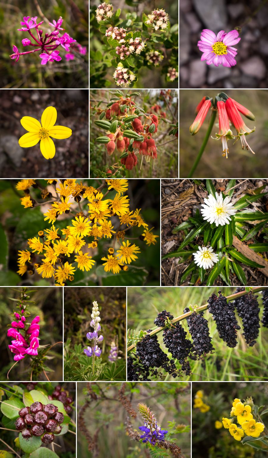 Many different flowers that lined the hiking route around the rim of Laguna Cuicocha near Otavalo, Ecuador