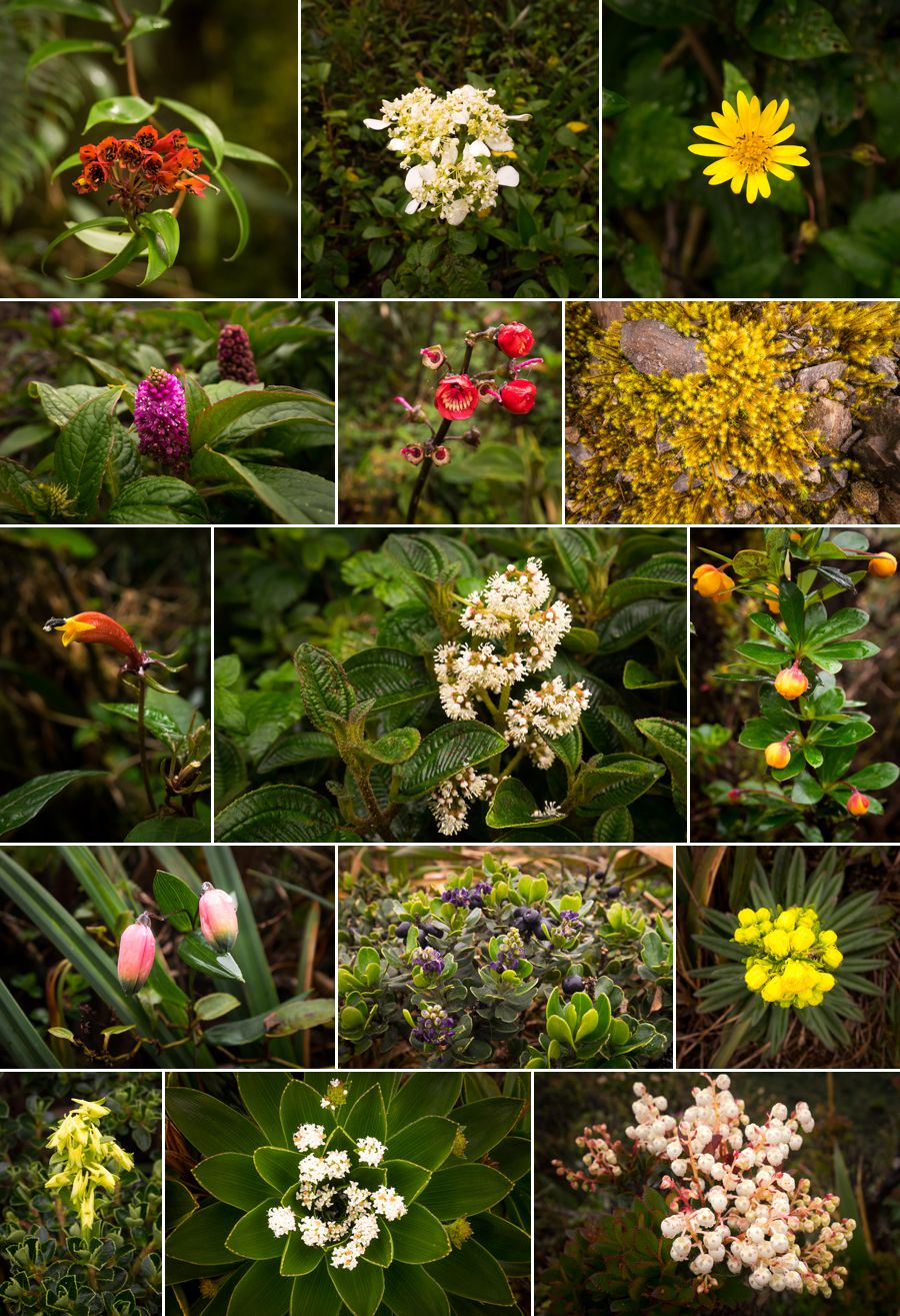 Various flowers on los Miradores hike in the Podocarpus National Park near Loja, Ecuador