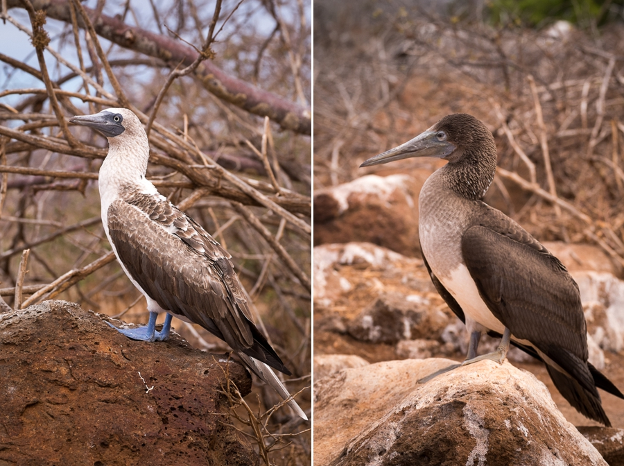 Adult and juvenile Blue-footed Boobies showing the difference between the two. North Seymour hike, Galapagos