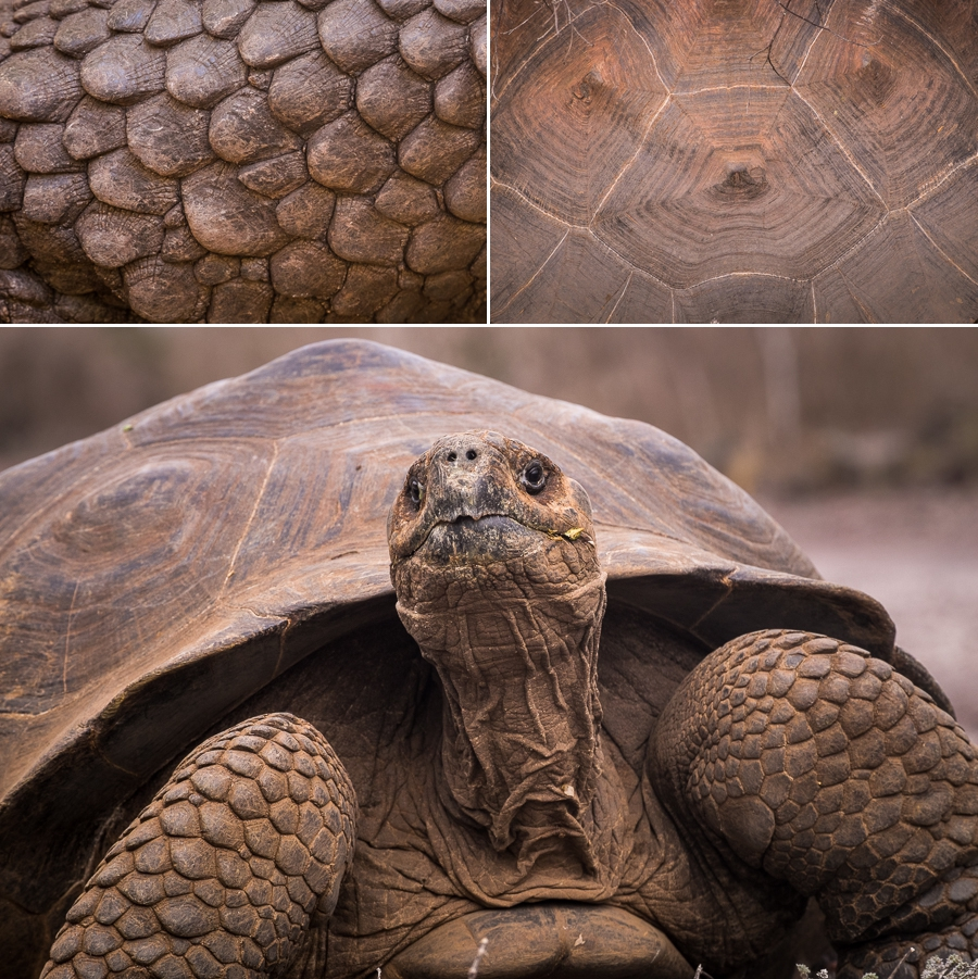 Front view of a giant land tortoise with neck extended, as well as details in the shell and the legs
