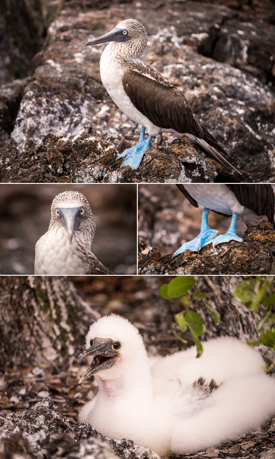 Images of a Blue-footed Boobie at Los Túneles, and a fluffy chick
