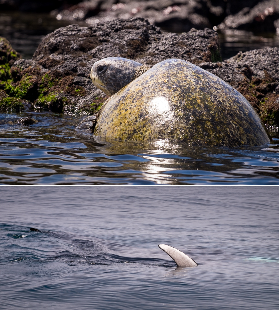 A Green Sea turtle sunning itself on a rock, and the fin of a sting ray - both seen on the way back to the harbour.